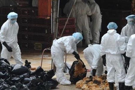 穿戴个人防护用品处理感染H7H9禽流感的家禽
